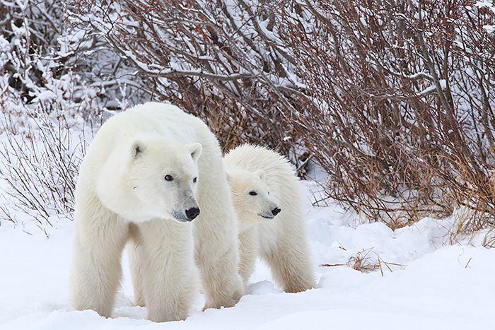 polar-bears-front-pair
