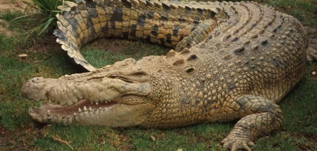 نبذة عن الفك المفترس التماسيح نبذة عن الفك المفترس التماسيح التصنيف العلمي التمسا Saltwater Crocodile Australian Saltwater Crocodile Crocodile Facts