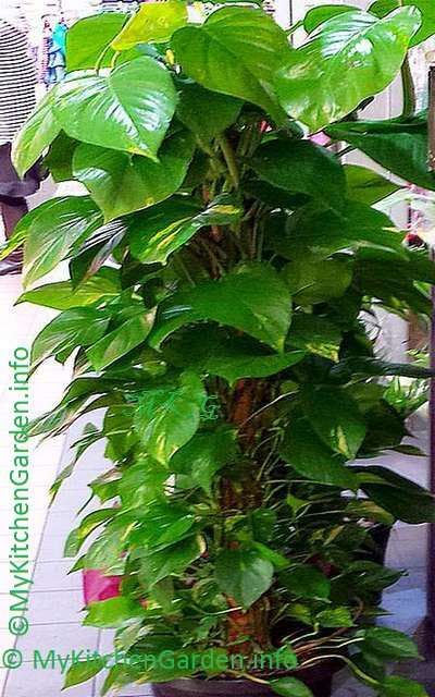 How to Plant, Grow and Care Money Plant