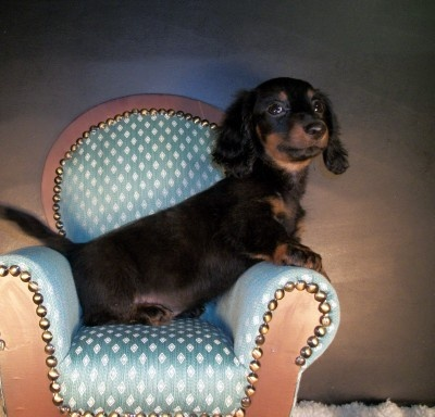 Looks just like Rudy when he was a puppy!: Dachshund, Pet Stuff, People S Wieners, Puppy, Adorable Critters, Wieners Ii, Favorite Baby