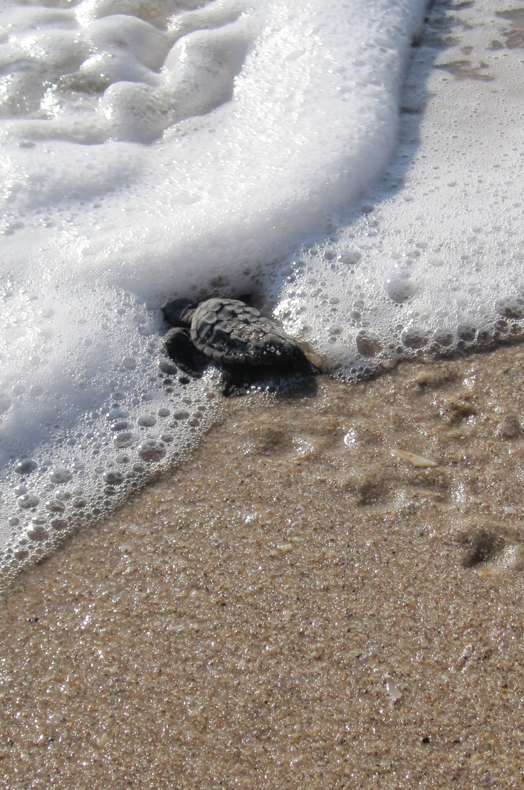 Sea turtle hatchling - first entry into the ocean. Vero Beach Florida.