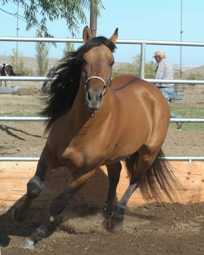 Kiger Mustang-Wild horses from Oregon and descendants of Spanish Conquistadors horses.