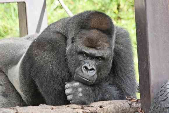 Shabani the gorilla made headlines worldwide this year for his dashing good looks, and hundreds of people turned out to celebrate as he turned 19