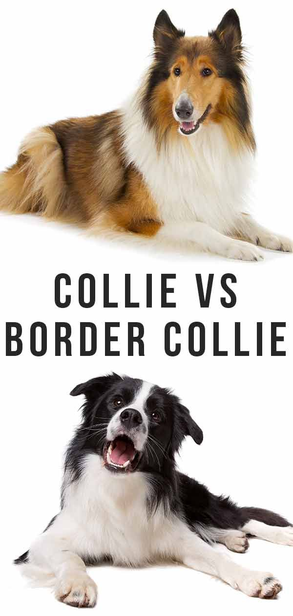 Collie Vs Border Collie Which Of These Is The Right Companion For