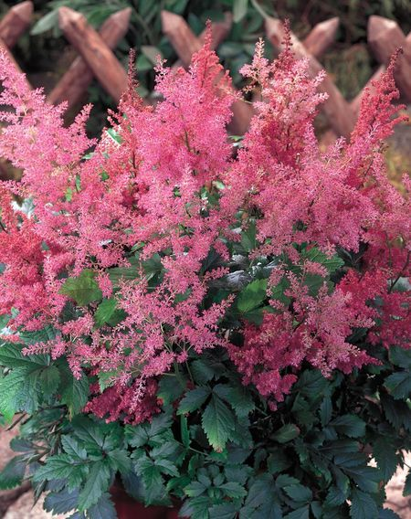 Perinnials Shade Flowers Shade Loving Perennials