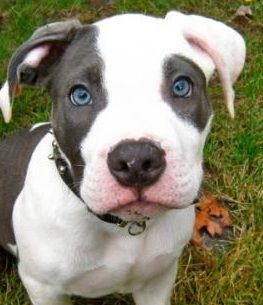 Beautiful pit his eyes match mine.... No I'm not the father folks but his ass is jazzy as they get. Damn it man I want him!!!!