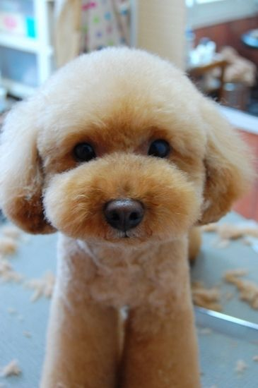 Cute my favorite Poodle haircut Toy poodle haircut