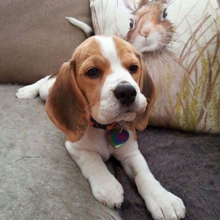 Owner: @heidithebeagle #instagrambeagles Add me on snapchat! - coolnesschris All photos are copyright to their owners!