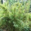 Fargesia 'Jumbo' - Bambou murielae parapluie