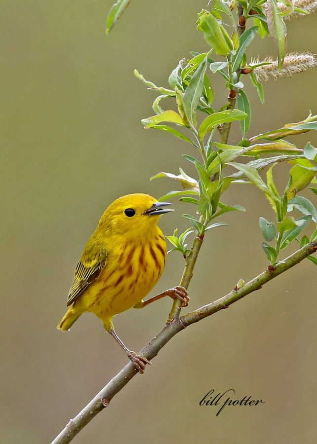 Yellow warbler by William Potter, via 500px