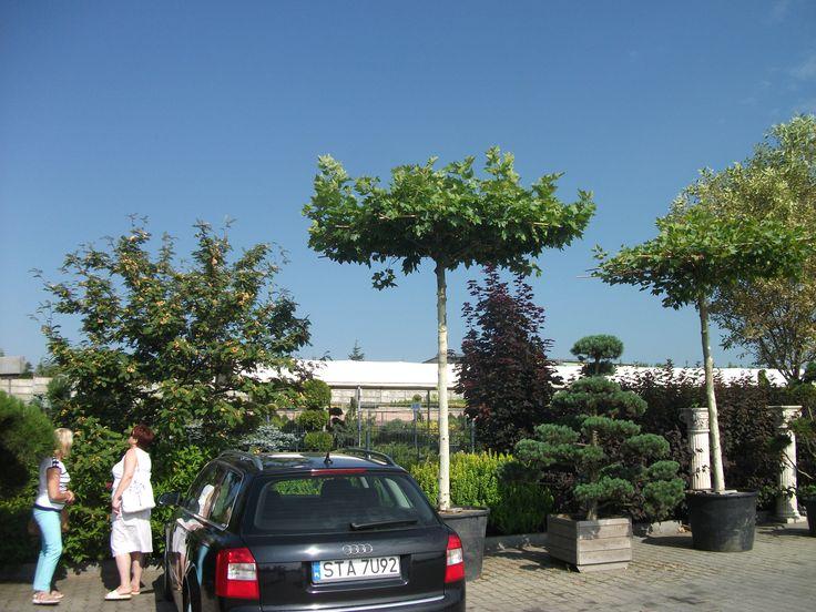 Drzewka przycinane