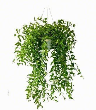 Hoya Bella hangplanten en kamerplanten | Chicplants