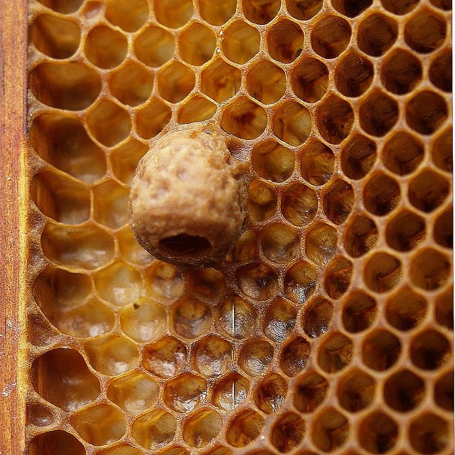 A naturally built queen cell for a honey bee queen. by Bienenwabe, via Flickr