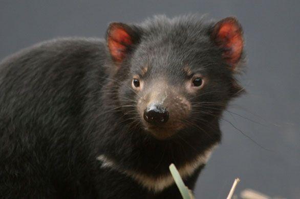 Diavolo della Tasmania: di nuovo in Australia - http://www.wdonna.it/diavolo-della-tasmania/62140?utm_source=PN&utm_medium=WDonna.it&utm_campaign=62140