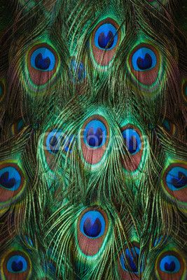 Colorful peacock feathers© pirotehnik