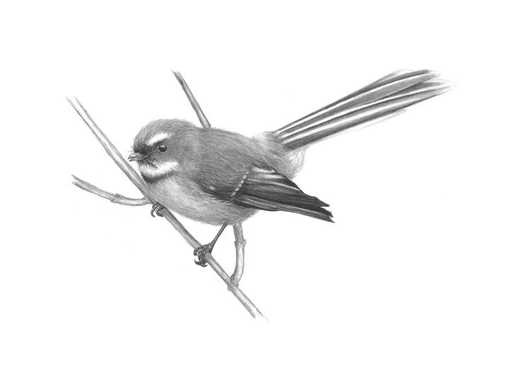 nz fantail sketch - Google Search
