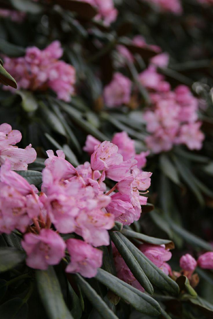 rhododendron metternichii - Ein Kurzurlaub im botanischen Garten von Hamburg • Blumen & Pflanzen Blog • 99Roots.com