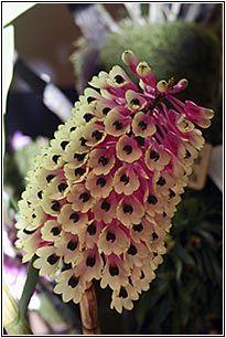 Brazilian Orchids - Orchid News Edicao Especial/Special Edition - WOC 23 - Miami