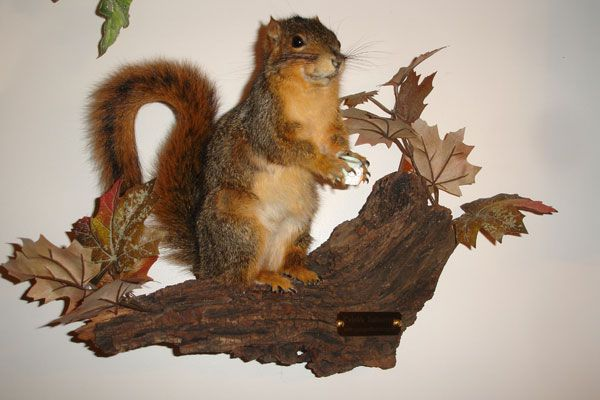 24 best taxidermy ideas and diy images on pinterest taxidermy sqiurrel taxidermy habitat ideas squirrel taxidermy kits solutioingenieria Choice Image