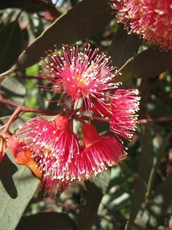 Eucalyptus torquata • Australian Native Plants • Plants • 800.701.6517