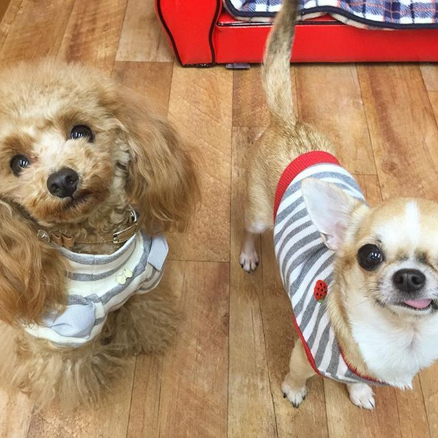 Claire♥Jessica グレーボーダーお揃いコーデ💓😍 LOνЁ ゜・*:.。. ♡loυё♡.。.:*・゜¨̮⑅*♡ #ティーカッププードル#トイプードル#プードル#犬 #dog #ワンコ #愛犬 #ワンコなしでは生きていけません#犬バカ#犬バカ部#teacuppoodle #toypoodle #poodle #ふわもこ部#親バカ#わんわん#doglove#doglover#cutepoodle#lovepoodle#子犬#いぬ#イヌ#チワワ#スムチ