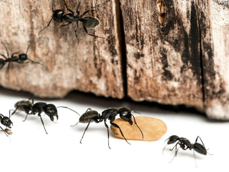 Popular Ameisen im Haus bek mpfen