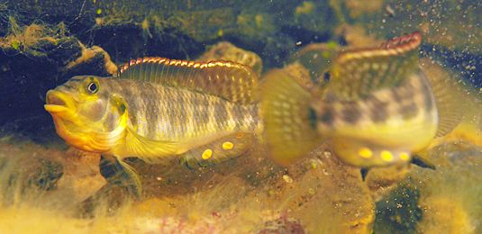 The cichlids constitute one of the most diverse families of freshwater fishes in tropical habitats. Its members have adapted to the demands of a wide range of ecological niches, and many have developed highly specialized feeding habits. Contemporary representatives of the family therefore...