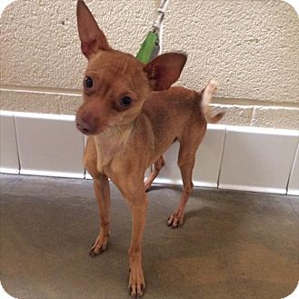 Riverside, CA - Chihuahua/Miniature Pinscher Mix. Meet Princeton, a dog for adoption. http://www.adoptapet.com/pet/17873793-riverside-california-chihuahua-mix
