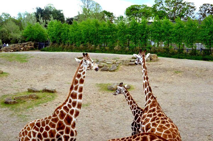 Photograph: The Giraffe Family; Date: February 12, 2016; Location: Dublin Zoo, Phoenix Park, Dublin: Photographer: Jedd Cabreza Photography