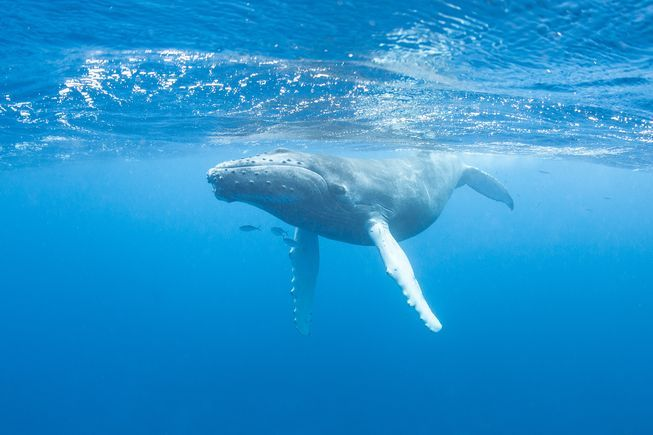 Humans spent three centuries slaughtering whales around the world. Now we're trying to undo the damage and help them bounce back.