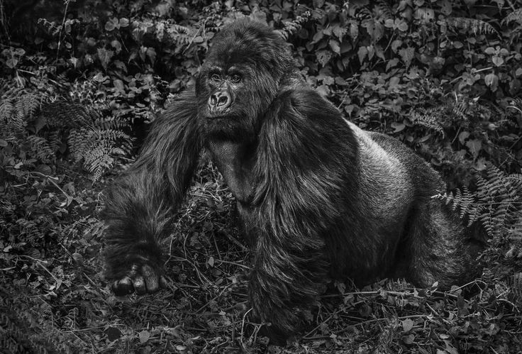 "Guhonda by David Yarrow   315gsm Hahnemühle photo rag Baryta paper  LARGE EDITION - UNFRAMED 56"" x 82"" / FRAMED 71"" x 97"" Editions of 12  STANDARD EDITION - UNFRAMED 37"" x 55"" / FRAMED 52"" x 70"" Editions of 12  For questions or prices please contact us at info@igifa.com     IGI FINE ART"