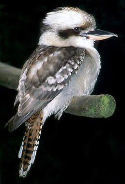 Laughing Kookaburra | KOOKABURRA