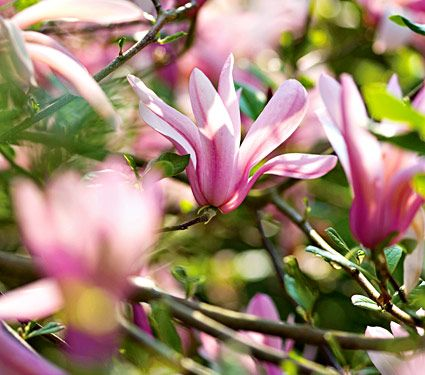 Tulip Magnolia, any variety is fine with me . . .