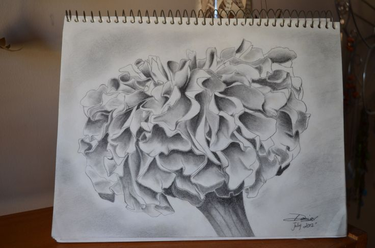 "A marigold from my garden. A study in shading.   8""x11"" sketch."