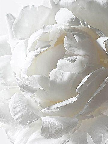 FlowerBeautiful Flower, Shades, White Flowers, White Roses, Colors, Puree White, Gardens, White Peonies, Snow White