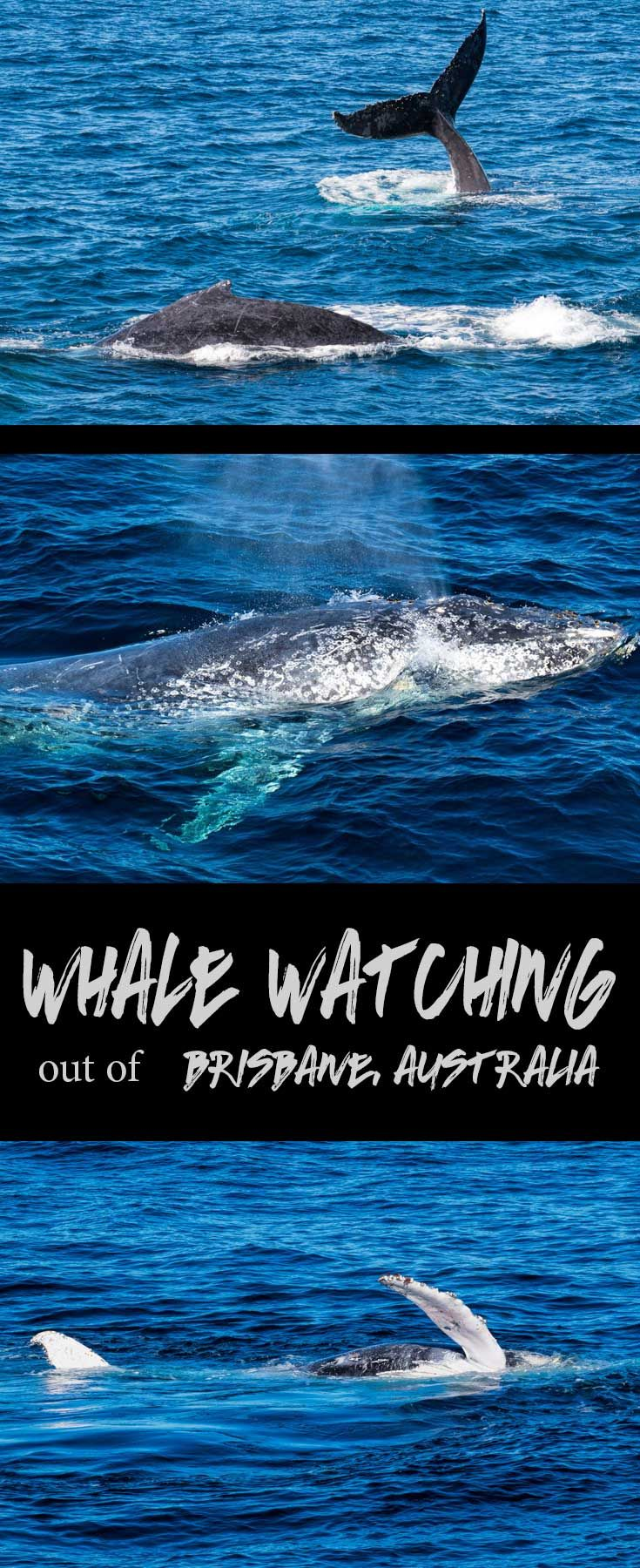 Looking for fun outdoor activities in Brisbane this winter?  Consider a whale watching cruise on Morton Bay, as the whales cruise past on their annual migration path.
