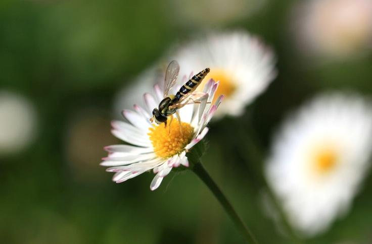 Hoverfly by Eva Komenda, via 500px