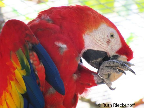 Red Macaw, Macaw Mountain, Honduras