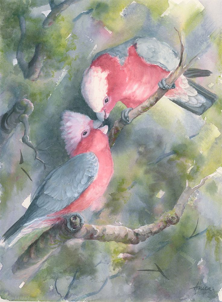 Mother and Baby Galahs feeding in our tree! Original watercolour painting and prints available