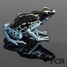 Powder Blue Tinctorius Dart Frog For Sale
