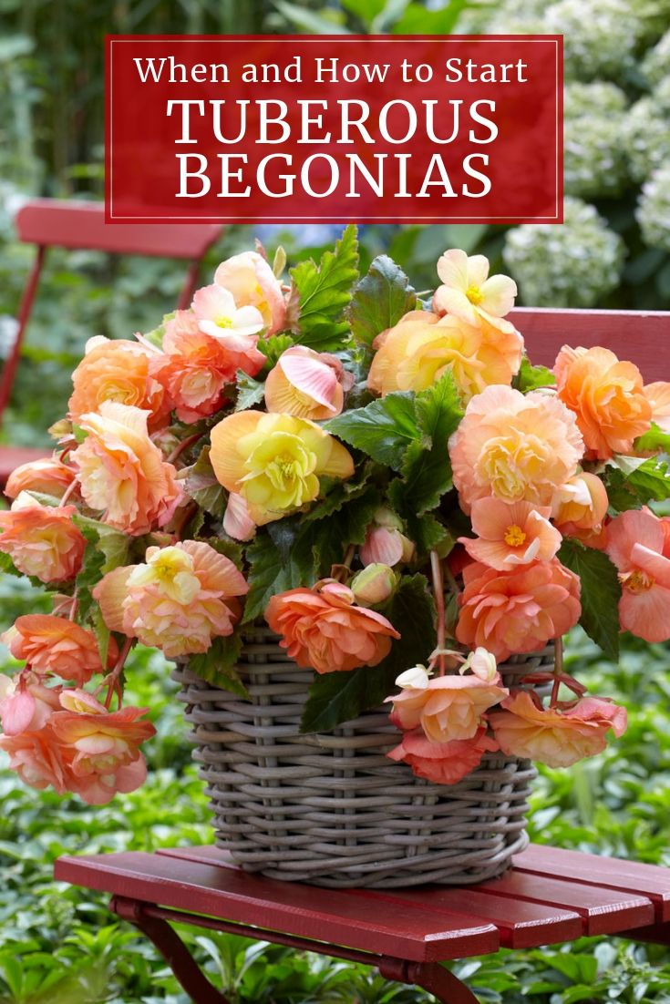 Tuberous Begonias How And When To Start Them Indoors Longfield Gardens Tuberous Begonia Begonia Longfield Gardens