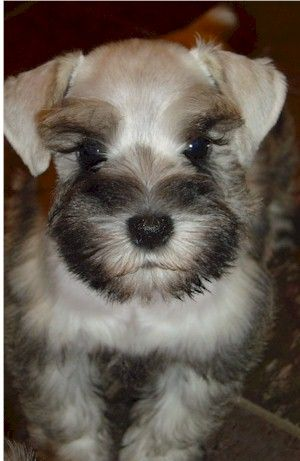 So precious this tiny puppy is so darling and such a wonderful color...... Mini schnauzer puppy✨