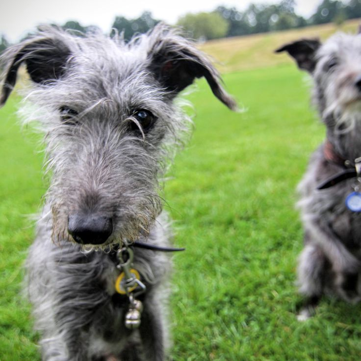 Alphie and Mac. 8 y/o. Lurcher, Whippet cross w/ Bedlington terrier. Two dogs that love cheese.