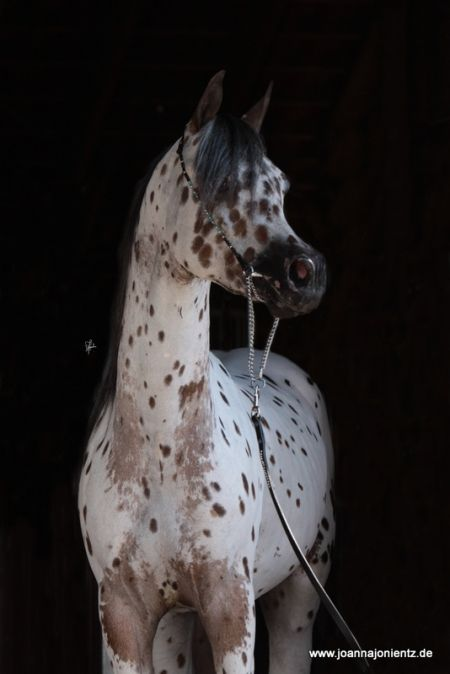 SPOT ON SA, Araappaloosa Stallion in | Appaloosa Horses for Sale