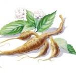 Ginseng Tee - Heilmittel aus der Natur. Schon vor Beginn unserer Zeitrechnung wurde Ginseng in der Tradtitionellen chinesichen Medizin als Heilmittel eingesetzt. Bei uns wurde die Ginseng Pflanze erst sehr viel später bekannt. In China, Korea und Japan wird der Ginseng Tee gegen allerlei Krankheiten und Beschwerden eingesetzt. Dabei wird der Kräuter Tee auch in der Gesungsphase getrunken, um so schneller wieder zu Kräften zu kommen.