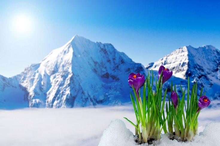 Zima, Góry, Krokusy