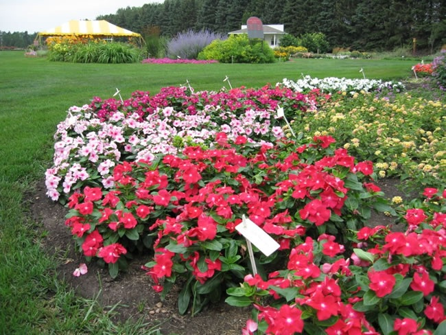 Flowering Vinca Likes Full Sun Will Bloom All Summer And Is Deer Resistant Drought