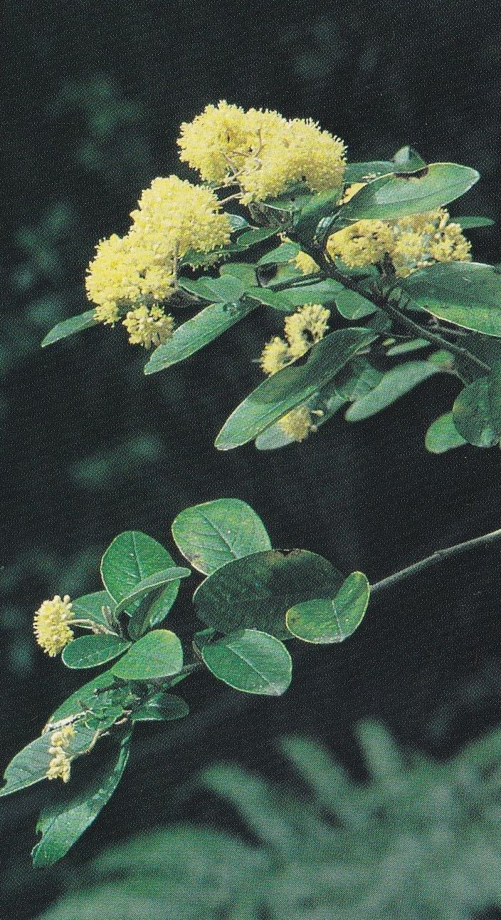 A number of plants were used for medicinal purposes, among them the kumarahou, or golden tainui, a shrub that grows in the northern part of the country. The leaves were boiled, and the liquid was used for skin complaints. It was also taken internally, though it is not known whether medicines were employed in this way before the nineteenth century.