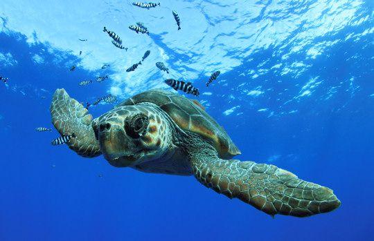 Mayotte - magie de chaque baignade : les tortues !!
