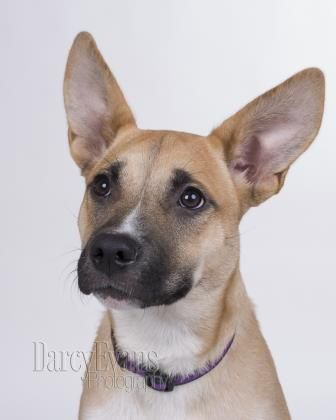 My name is Ciara and I am a 7 month female that loves to explore, play, jump, chase - all the fun things that puppies do. I admit that sometimes I may play a bit ruff, but I'm learning my manners and will definitely listen to you as you teach me all the good things about being a grown up dog. I am pee pad trained, and working on learning that the great outdoors is another option for me. Apply at www.cawsab.org to adopt me today!